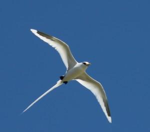 White-tailed_tropicbird