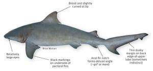 SharkID-Bull-Shark-Features-600